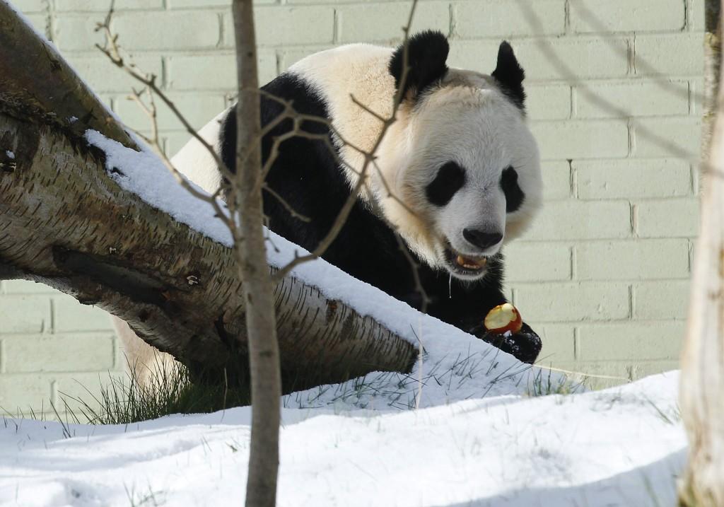 Een panda in de besneeuwde Edinburgh Zoo in Schotland, gisteren.