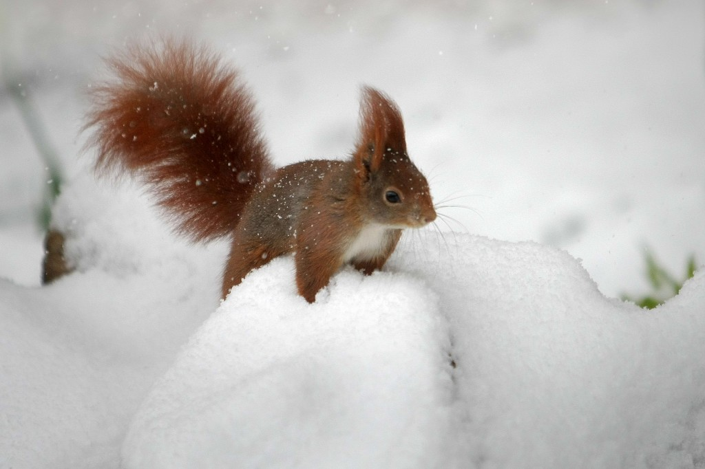 Deze eekhoorn in Wiesbaden, in het Westen van Duitsland, kan de sneeuw wel hebben.