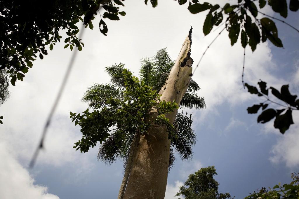 De ebola-boom werd door de lokale bevolking meerdere malen uitgerookt om zo de vleermuizen die in de stam woonden te verjagen (22 november 2014).